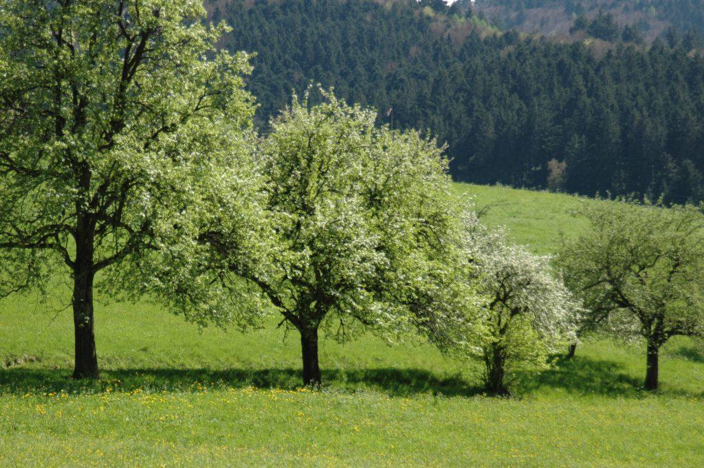 weiß blühende Bäume