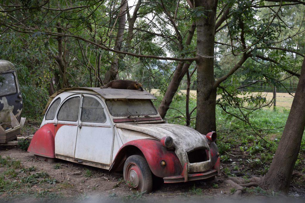 verrostetes Auto. Eine ente in weiß und rot in der Natur stehend